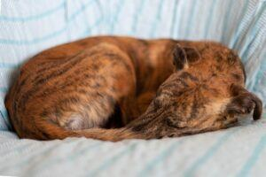 Relaxed-Greyhound