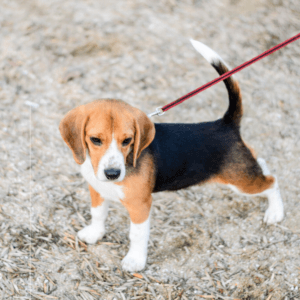 Walking With A Puppy