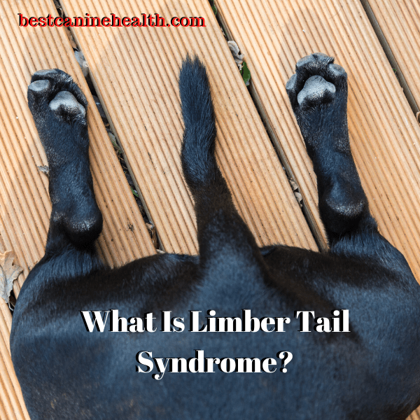 What Is Limber Tail Syndrome_