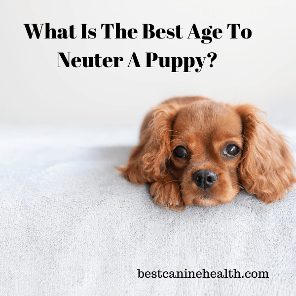 Age To Neuter A Puppy