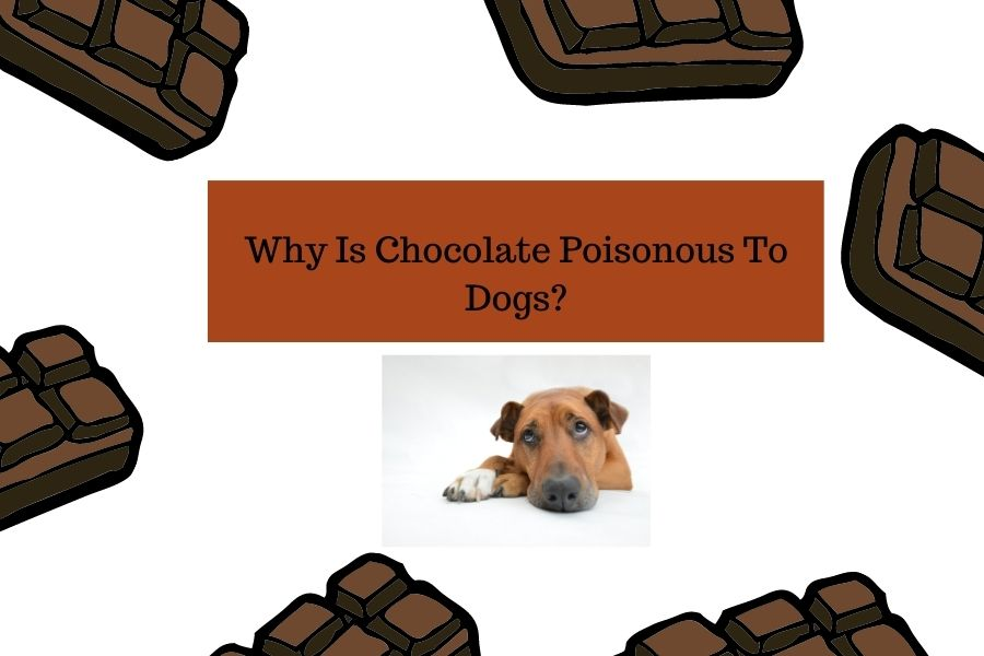 Why Is Chocolate Poisonous To Dogs_