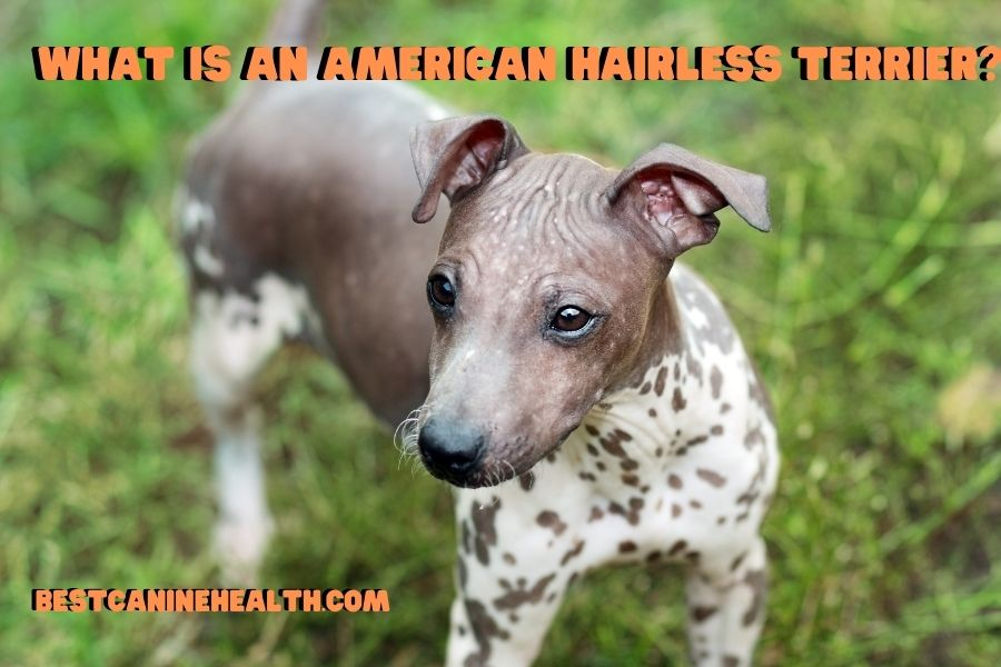 What Is An American Hairless Terrier?