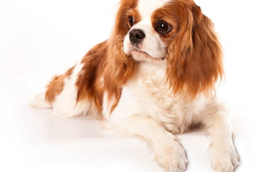 Best Dog Breeds As Pets
