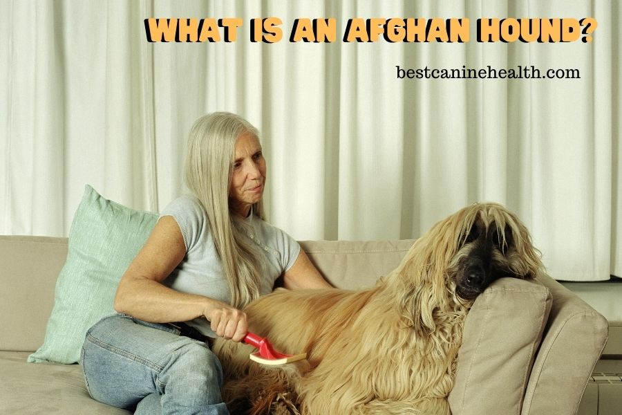 What Is An Afghan Hound