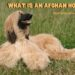 What Is An Afghan Hound?