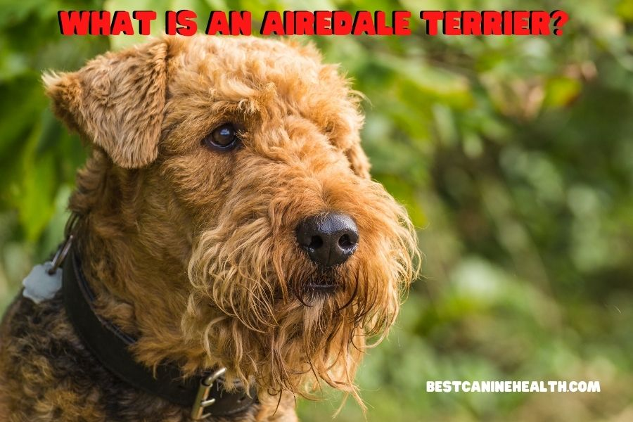 What Is An Airedale Terrier?