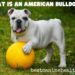 What Is An American Bulldog?