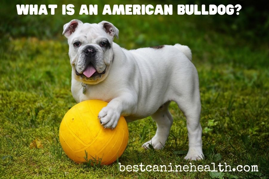 What-Is-An-American-Bulldog