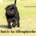 What is An Affenpinscher?