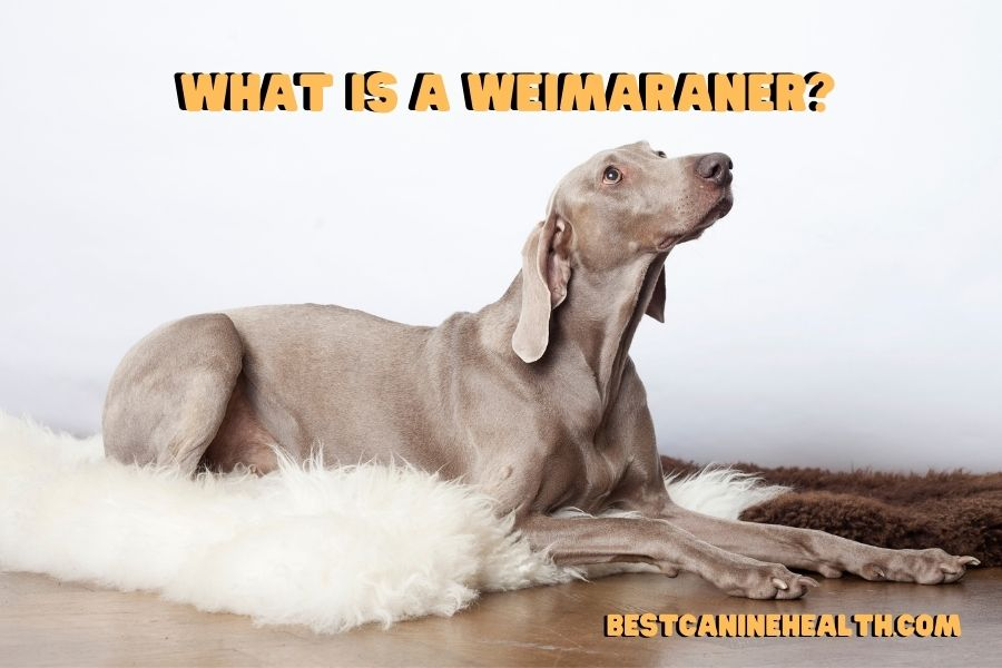 What is a Weimaraner