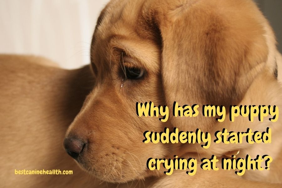 Why has my puppy suddenly started crying at night?