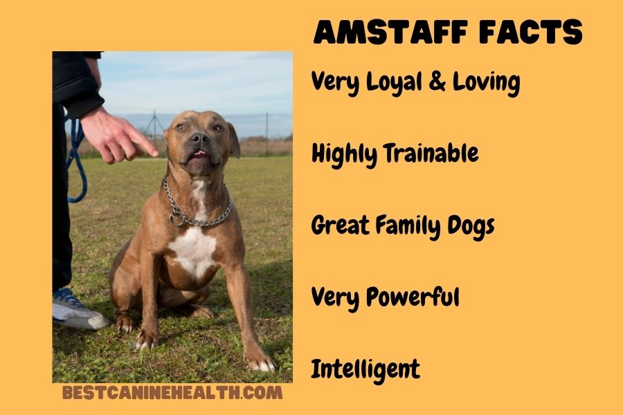 Whаt is аn American Staffordshire Terrier