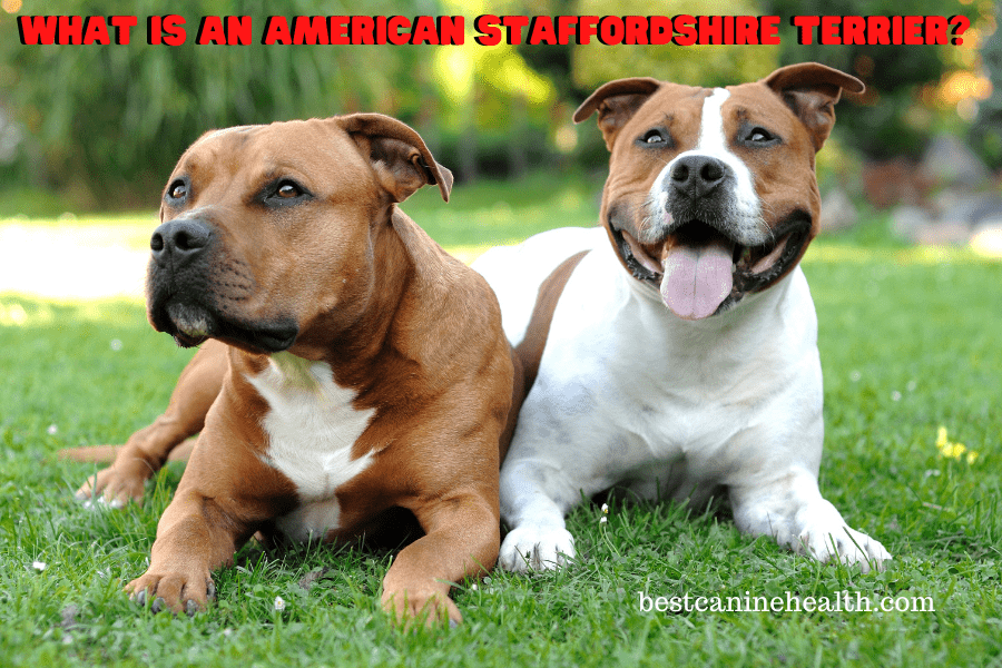 Whаt is аn American Staffordshire Terrier?