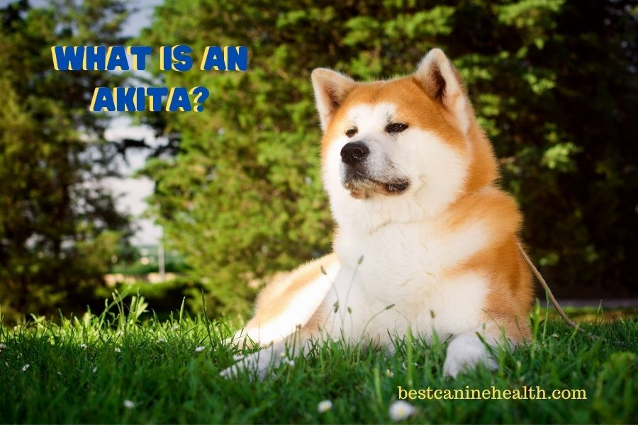 What Is An Akita?