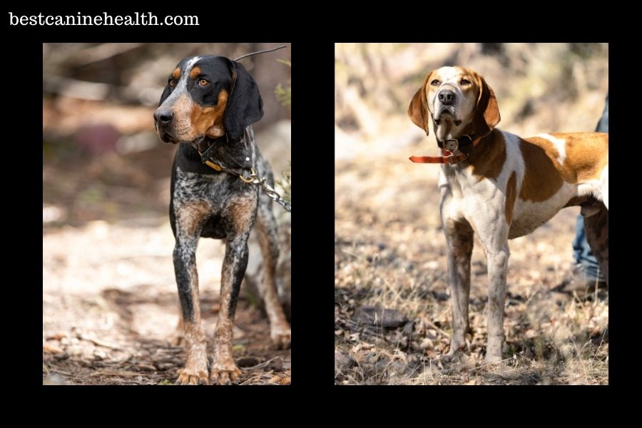 What Is An American English Coonhound?