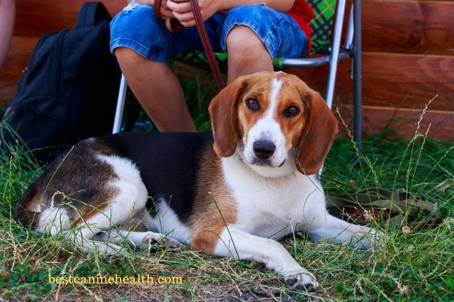 What Is An American Foxhound?