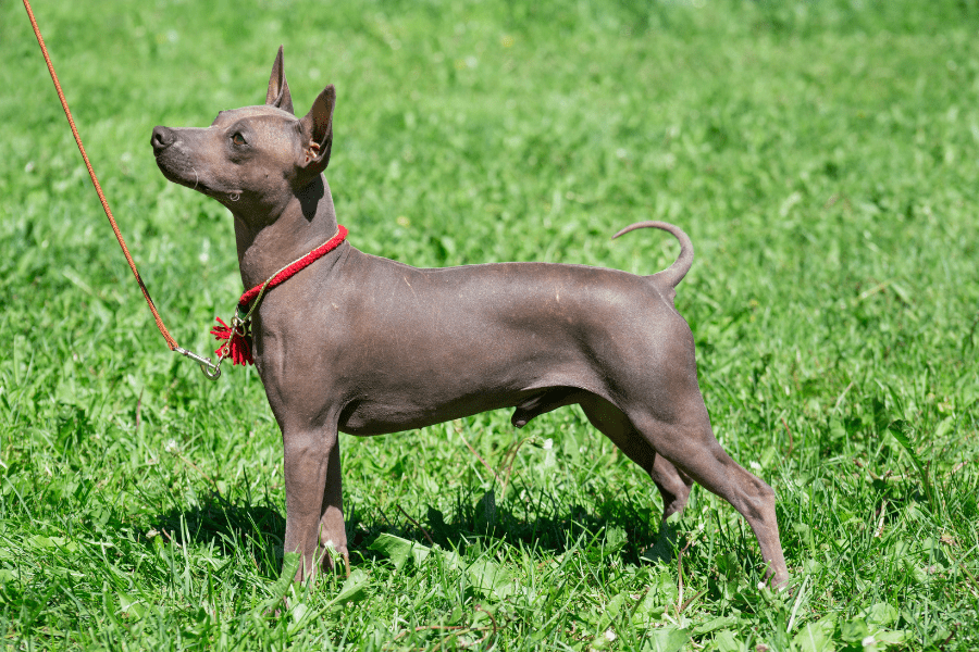 What Is An American Hairless Terrier_