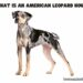 What is an American Leopard Hound?