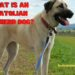 What is an Anatolian Shepherd Dog?