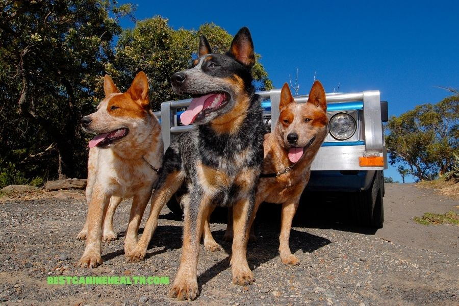 What Is An Australian Cattle Dog