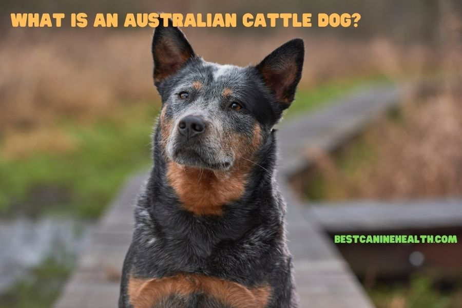 What Is An Australian Cattle Dog?
