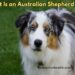 What Is an Australian Shepherd Dog?