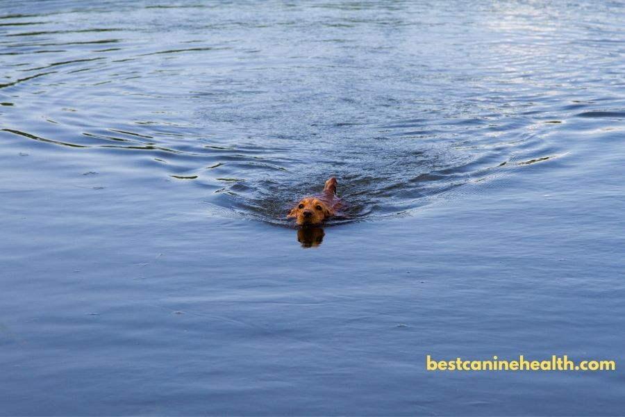 What-is-an-American-Water-Spaniel