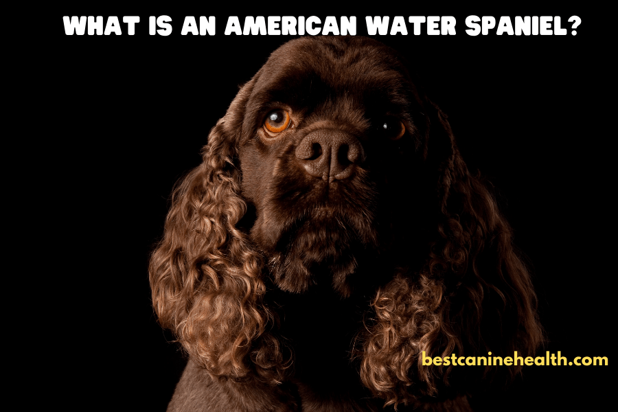 What is an American Water Spaniel?