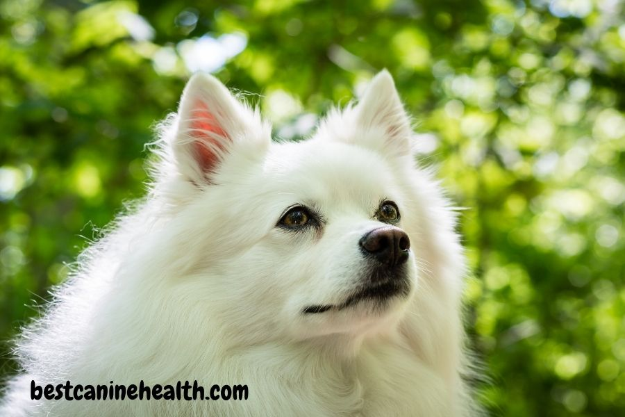 what is an American Eskimo Dog?