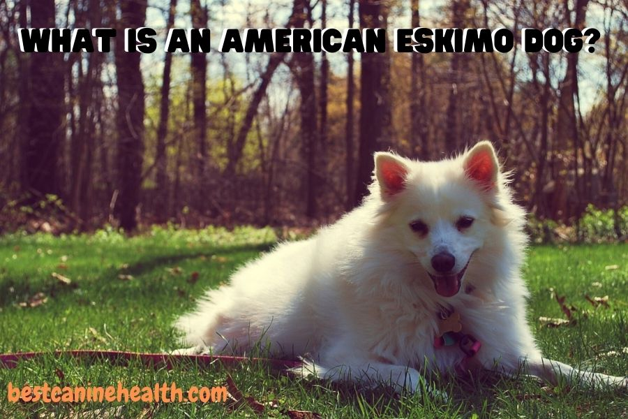 what is an American Eskimo Dog