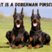 What Is A Doberman Pinscher?