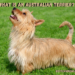 What Is An Australian Terrier?