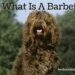 What Is A Barbet?