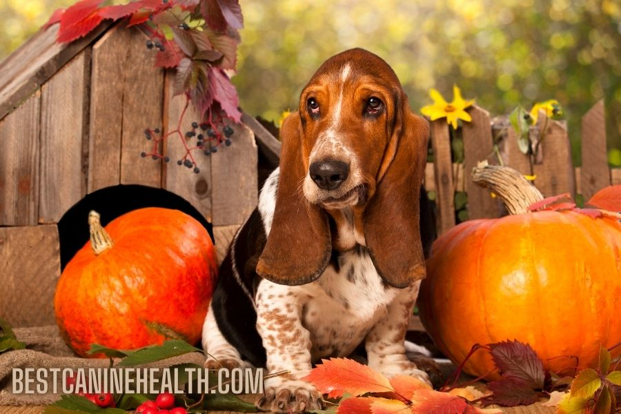 What Is A Basset Hound?