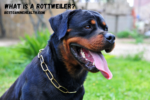 What Is A Rottweiler?