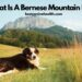 What Is A Bernese Mountain Dog?