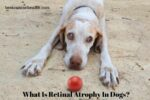 What Is Retinal Atrophy In Dogs_