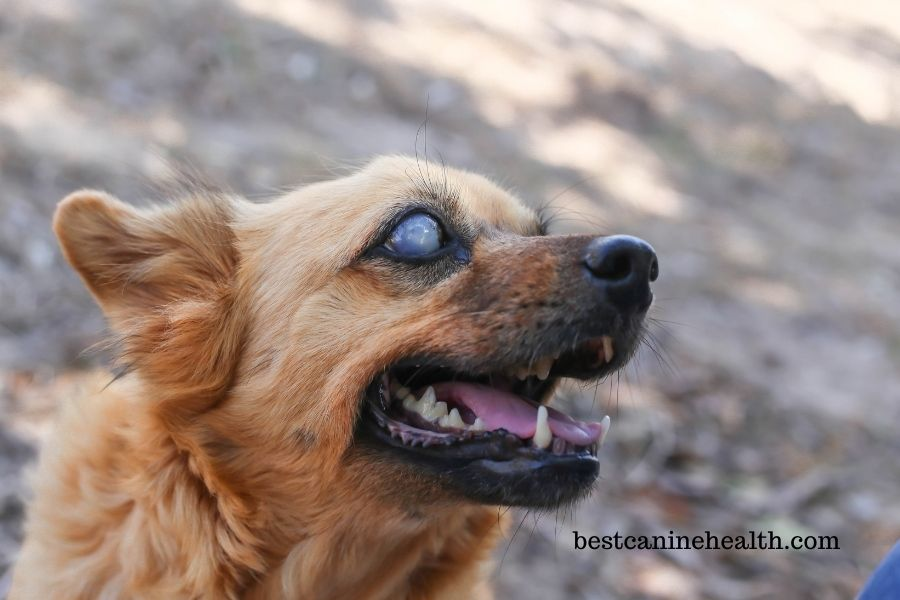 What Is Retinal Atrophy In Dogs