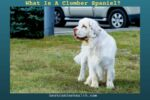 What Is A Clumber Spaniel
