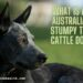 What Is An Australian Stumpy Tail Cattle Dog?