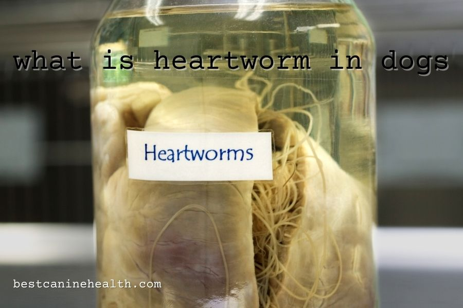 what is heartworm in dogs