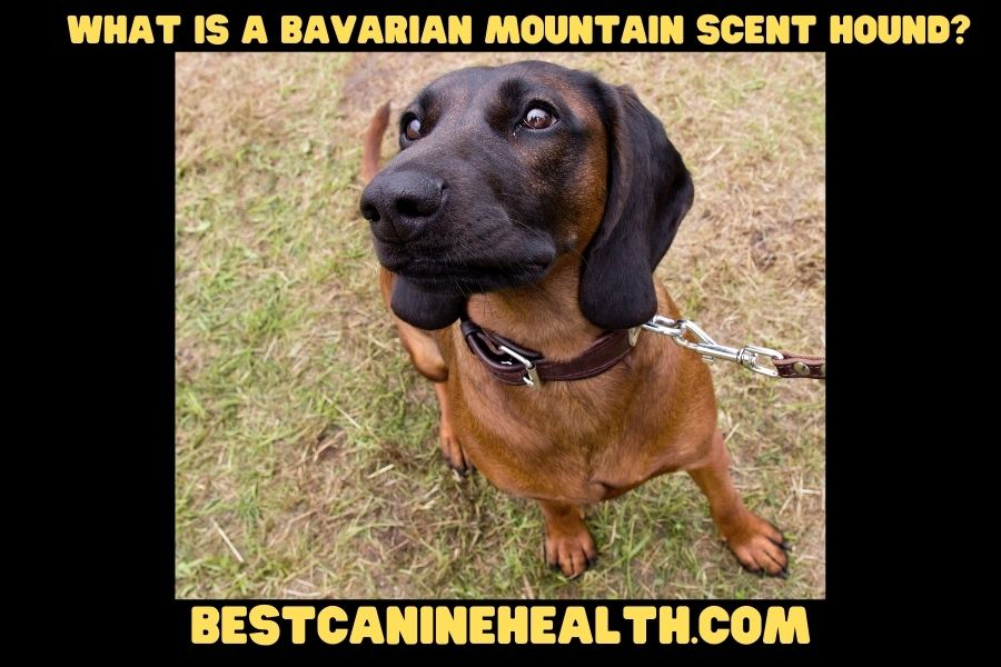 What Is A Bavarian Mountain Scent Hound?