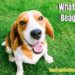 What Is A Beagle?