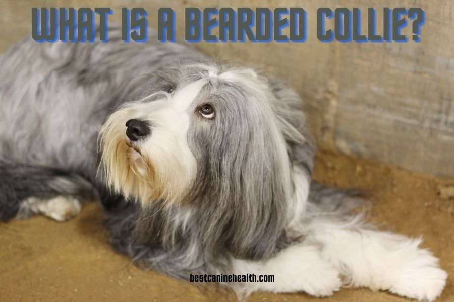 What Is A Bearded Collie
