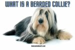 What Is A Bearded Collie?
