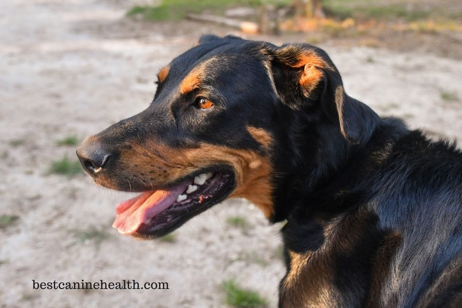 What Is A Beauceron
