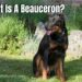 What Is A Beauceron?