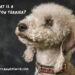 What Is A Bedlington Terrier?