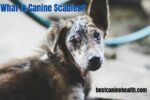 What Is Canine Scabies?