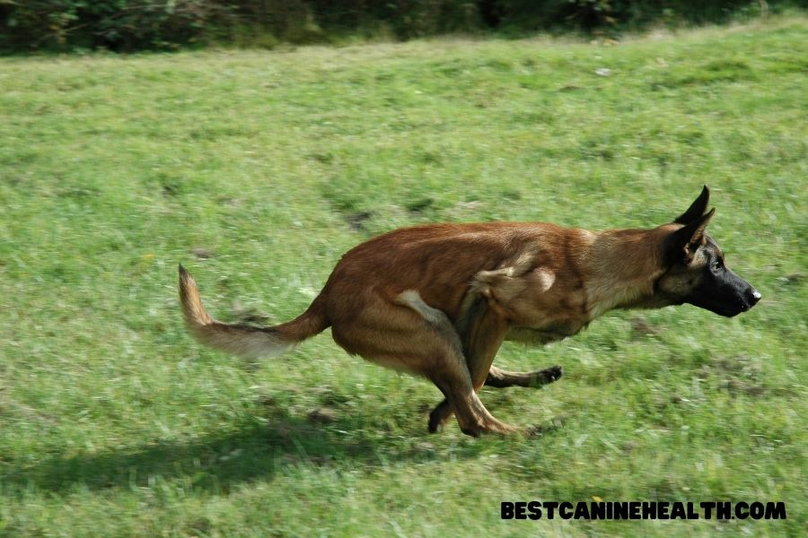 What Is A Belgian Malinois?